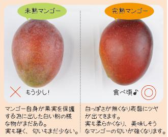 マンゴーの食べ頃